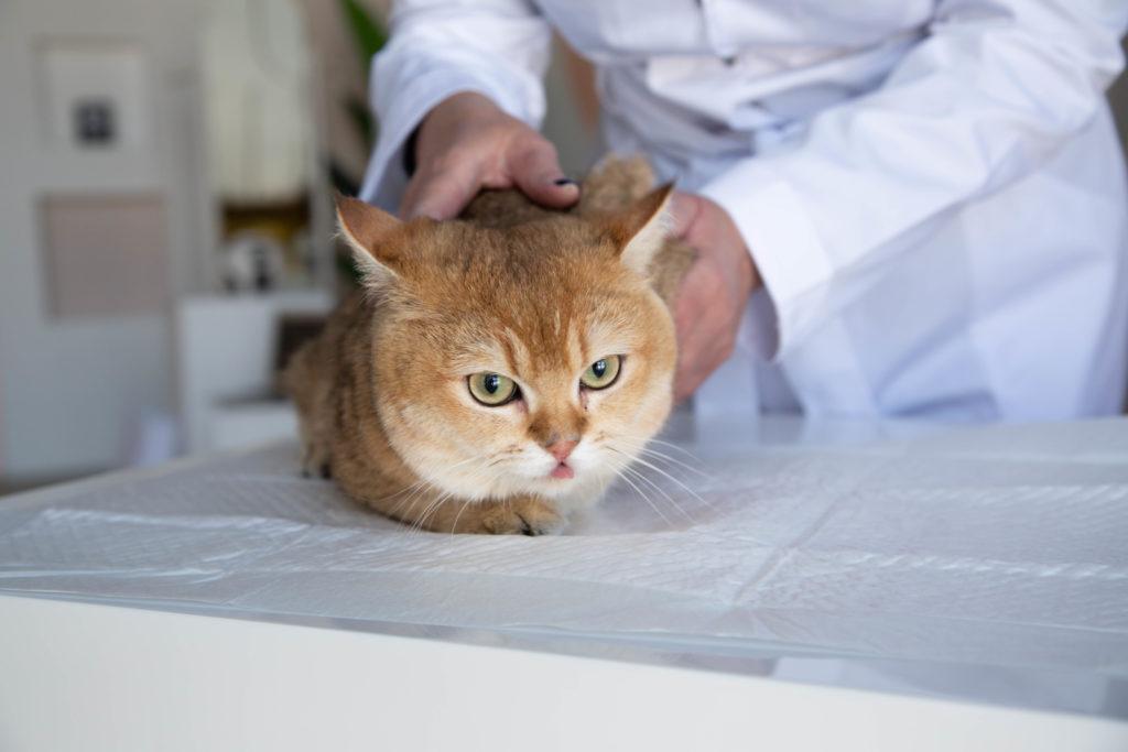 Рыжий кот на ветеринарном столе