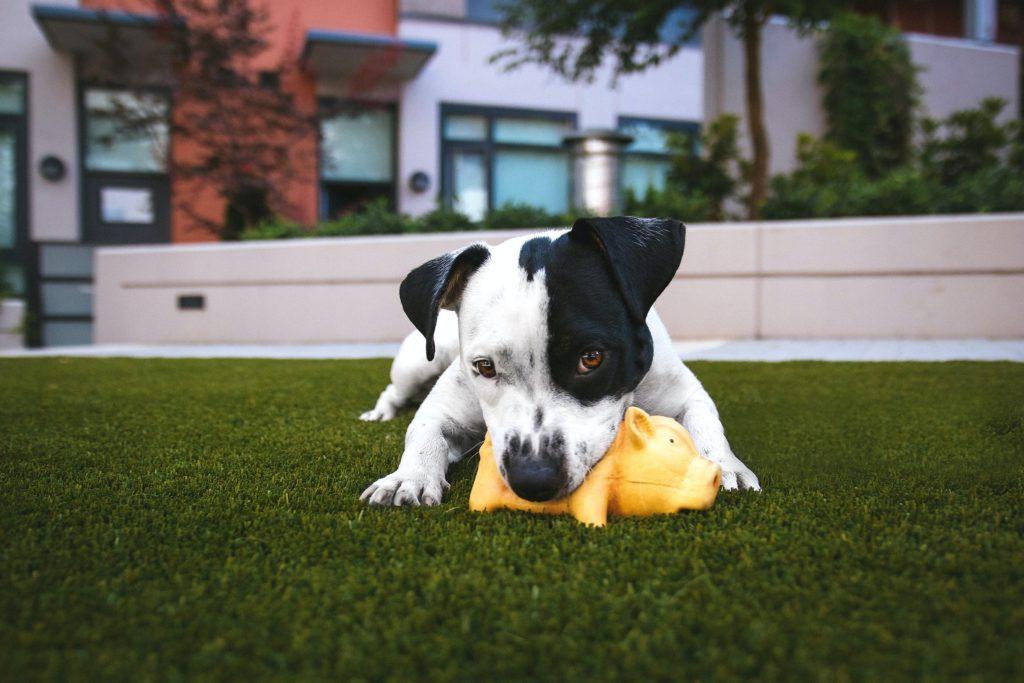 Черно-белый щенок с желтой игрушкой-свиньей