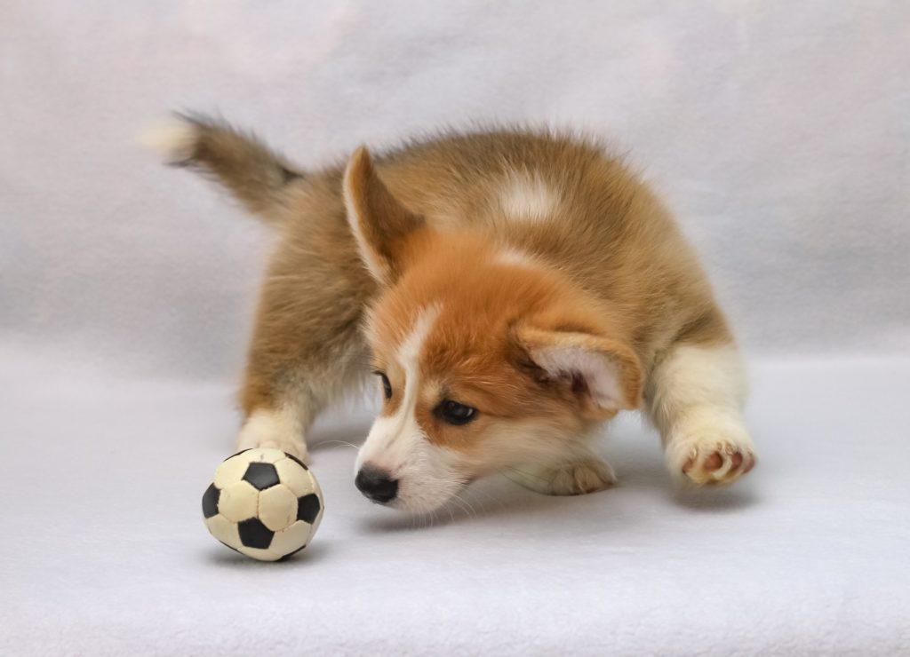 Рыжая собака с мячиком