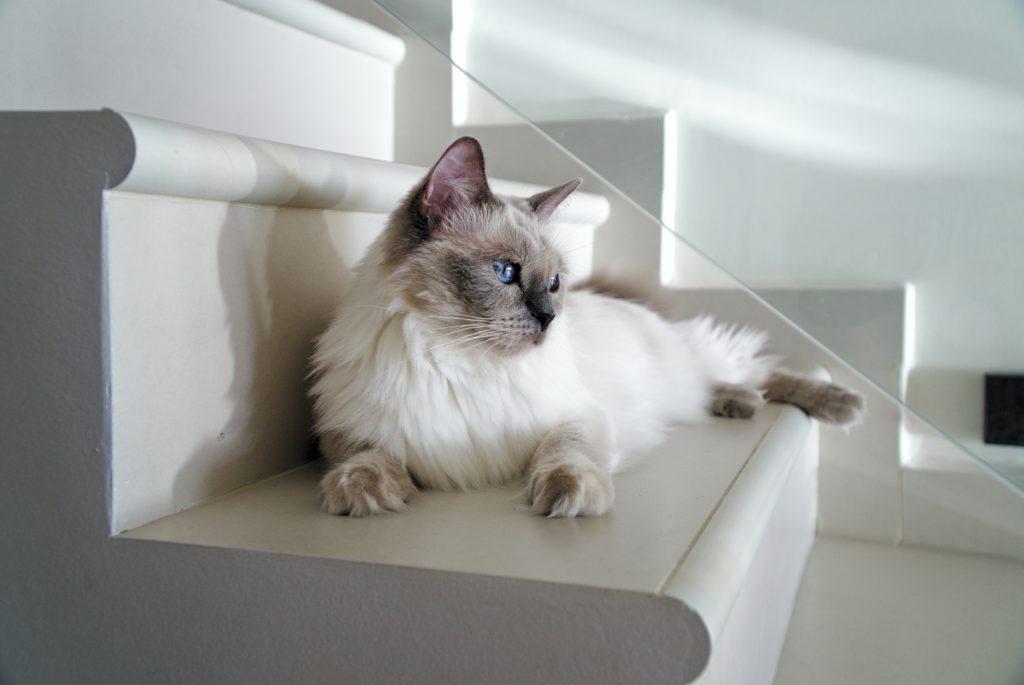 Черно-белая кошка рэгдолл