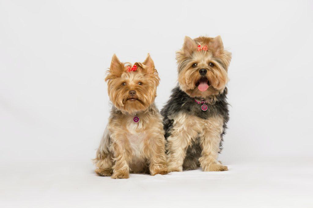 Собаки йоркширские терьеры